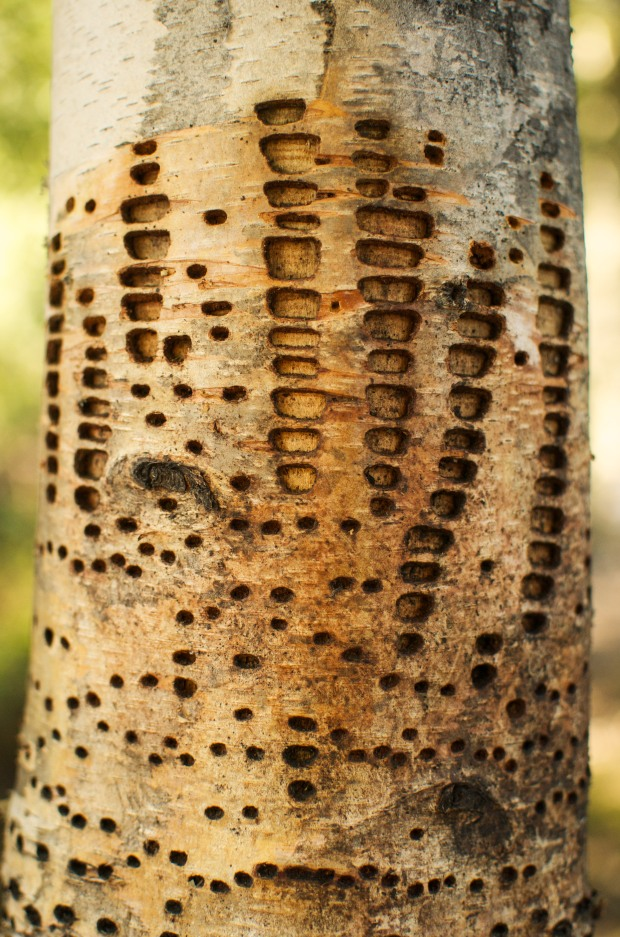 trees can have tattoos too!  I just love the intricate designs left by the woodpeckers