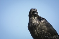 I rarely get to see a raven so close - of course I was using my zoom lens but he was standing right above me on top of the grocery store.