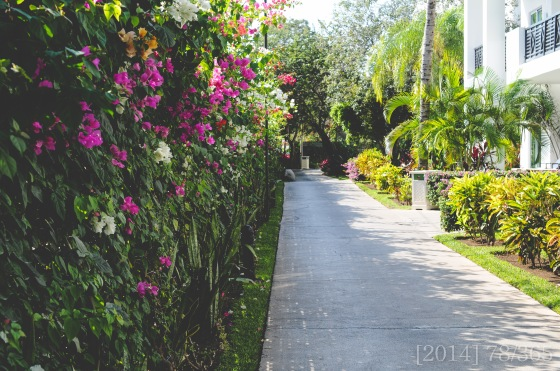 The whole resort was full of bougainvilleas.  Just beautiful!