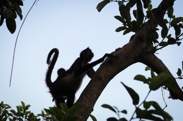 Spider Monkeys!!  We got to see them a couple of times!  This one had a baby attached to its back!  The way they move is just amazing.