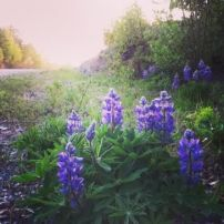the lupins are back!