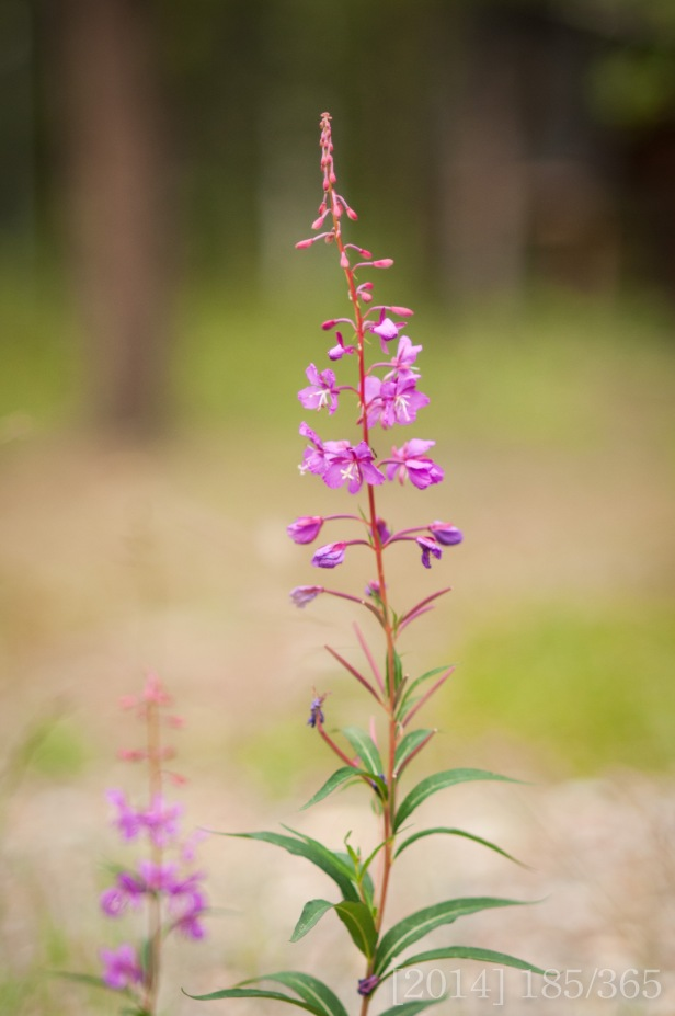 I just love fireweed!