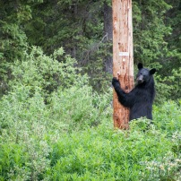 A black bear on the way to Whitehorse