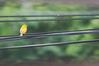 yellow bird right outside the window. 85mm